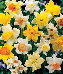 mixed daffodils bulbs flower bulbs at burpee