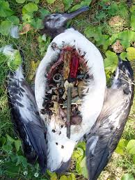 100 Seabirds Food Truck Summer Of Science Plastic Poses A Growing Threat To