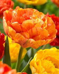 order princess irene tulip bulbs at wholesale pricing with