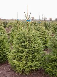 10ft Christmas Tree Canada by Premium Norway Spruce Cawston Christmas Trees