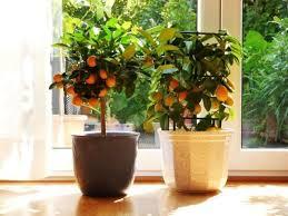den zitronenbaum überwintern im wohnzimmer so kann es