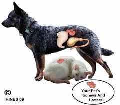 renal failure in cats 49 best feline kidney disease images on kidney disease