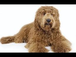 10 Dog Breeds That Shed The Most by Top 10 Most Shedding Dog Breeds Top 10 Dogs Youtube