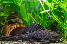 aquarium d eau douce poissons aquariophilie l de l aquarium