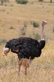 Ostrich Billy Dodson Craig R Sholley