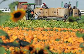 Pumpkin Patch Hospitality San Bernardino Ca by Thousands Of Pumpkins Fill Annual Festival Patch At Cal Poly