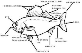 28 Collection Of Tilapia Fish Drawing And Labeling