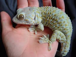 Crested Gecko Halloween Morph For Sale Uk by 41 Best Vivarium And A Tokay Gecko Images On Pinterest Lizards