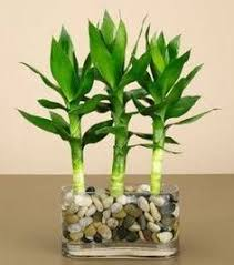 planting bamboo in a pot how to grow and shape lucky bamboo lucky bamboo sunlight and