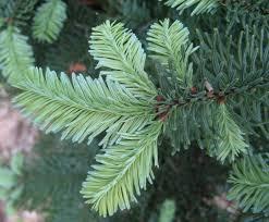 Silvertip Fir Christmas Tree by Living Christmas Tree An Evidence Based Gardener