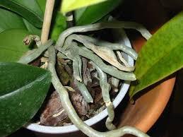 culture orchidees pot entretien du phalaenopsis maison retraite