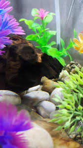 Halloween Hermit Crab Lifespan by Ghost Shrimp Fish Tank Glow Fish And Tank Ideas Pinterest