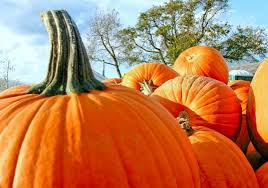 Pumpkin Picking Nj by Best Farms To Pick Your Own Pumpkins Central Nj Mommyhood Central