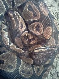 77 best ball pythons images on pinterest reptiles snakes and python