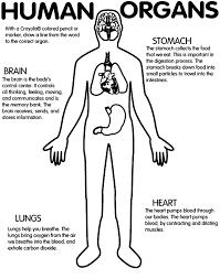 Printable Worksheet Human Organs Brain Stomach Lungs Heart
