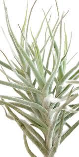 tillandsia diaguitensis aufsitzerpflanze