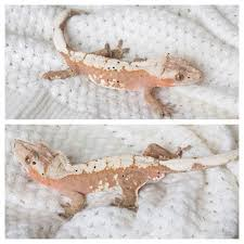 Halloween Pinstripe Crested Gecko by Crested Gecko Breeders Gecko Lust Pinterest Crested Gecko