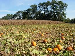 Pumpkin Picking Nj Corn Maze by Pick Your Own Pumpkins Bullock Farms Cream Ridge Nj