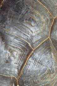 Turtle Shell Not Shedding by Turtle Scutes And Shedding Howstuffworks