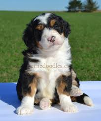 No Shed Dogs Medium by Willow Brooke Bernedoodle Puppies Faq
