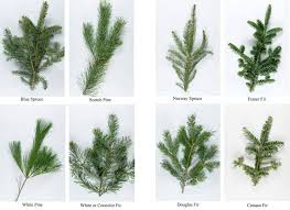 Nordmann Fir Christmas Tree Nj by Christmas Astonishing Real Christmas Trees Which Indiana Tree