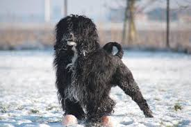 Portuguese Water Dog Non Shedding by Portuguese Waterdog Kennel American Dancer U0027swaterdogs