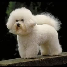 Do Jackie Bichon Shed by Bichon Frise Puppies For Sale