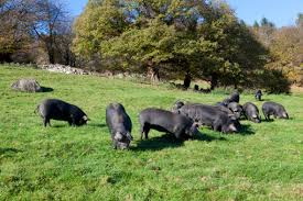 chambre d agriculture tarbes chambre d agriculture tarbes 4 le porc gascon conservatoire du