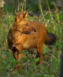 Dogs That Shed The Least by Dhole Wikipedia