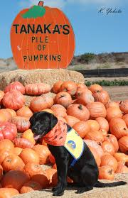 Vomiting Pumpkin Dip by Bowen U0027s Dog Blog Life And Adventures Of An Assistance Puppy In