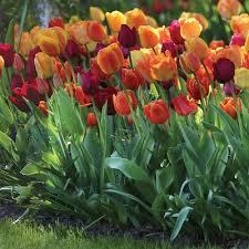 tulip bulbs for sale tulips tulip bulbs bulbs and