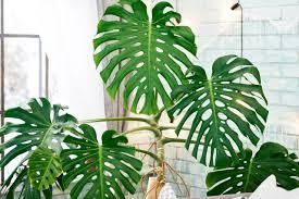 die schönsten zimmerpflanzen mit blättern