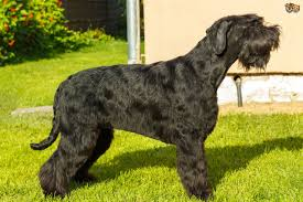 giant schnauzer dog breed information buying advice photos and