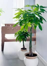 zimmerpflanzen zimmerpflanzen kaufen plantsome