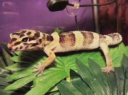 Do Baby Leopard Geckos Shed by Shedding Discussion Long Post Is Looooong Reptiles