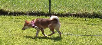 How To Build A Cable Run For Your Dog (instructions & Photos) Do Female Dogs Get Periods How Often And Long Does The Period Dsc3763jpg The Best Retractable Dog Leash In 2017 Top 5 Leashes Compared Please Fence Me In Westward Ho To Seattle Traing Talk Teaching Your Come When Called Steemit For Outside December Pet Collars Chains At Ace Hdware Biglarge Reviews Buyers Guide Amazoncom 10 Foot With Padded Handle For Itt A Long Term Version Of I Found A Rabbit Wat Do