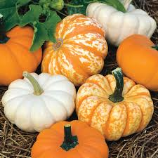 Types Of Pumpkins And Squash by Mini Harvest Blend Pumpkin Seeds From Park Seed
