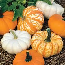 Natural Fertilizer For Pumpkins by Mini Harvest Blend Pumpkin Seeds From Park Seed