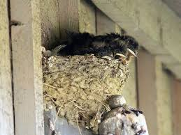 Barn Swallow Nests. | Seasons Flow Lil Bird By Foxeaf Golondrina Swallow Hirondelle Pinterest Birds Swallows Including Barn And Tree Behavior In The Yard Networks On Wing Hawkmoth Ed Newbold Arriving Critical Breeding Season Hirundo Rustica Perched Edge Of A Dock Mud Hinterland Whos Who North America Online Nature Canada Bank Legally Listed As Threatened The Is Slowly Conquering World Audubon Mdc Discover