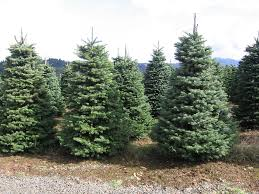 Balsam Christmas Trees by Public Works Christmas Tree Recycling