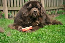Do Newfoundlands Shed Hair by A Little Her Big Dog And The Furminator Pethairsolutions