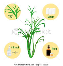 Sugar Cane And Products Of Glass Bottle Rum Clip Art Rh Canstockphoto Com