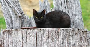 File:Black Barn Cat - Public Domain.jpg - Wikimedia Commons Ferals Strays And Barn Cats Cat Tales Tuesdays Fun And Aww My Moms Is Gorgeous Viralspell The Care Feeding Of Timber Creek Farm Program Buddies Seeking Support For Its Catsaving Efforts Adoption Barn Cats Near Bardstown Ky Petfinder For Green Rodent Control Turn To Barn Cats The Flying Farmers Free Images Wood Old Animal Cute Wall Pet Rural Sitting On Top Of Bales Straw Ready To Pounce Stock Weve Got Hire Central Missouri Humane Society By Jsf1 On Deviantart