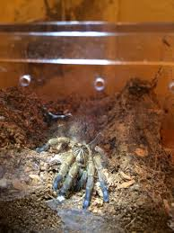 Do Tarantulas Molt Upside Down by The Skill Of Slings Burrowing Or Not Burrowing Arachnoboards