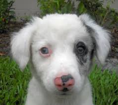 Small White Non Shedding Dog Breeds by Skate The Puppy Mixed Breed Fluffy Cute White Dog Patch Over
