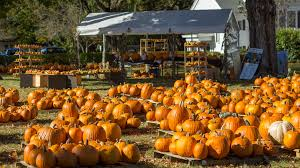 Halloween Attractions In Jackson Nj by Guide To Pumpkin Picking In New Jersey I Love Halloween