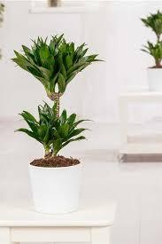 dracaena fragrans drachenbaum gartenvielfalt
