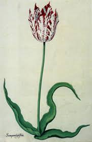 17th century tulip bulb considered the most expensive flower in