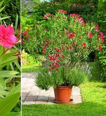 plantes fleuries laurier jardin plantes
