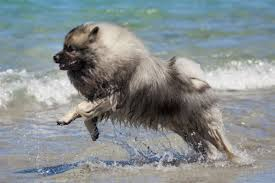 Dogs That Dont Shed Keeshond by 13 Dogs With Curly Tails American Kennel Club